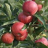 Apfelbaum Gala süßer Herbstapfel sehr beliebter Kinderapfel Buschbaum 120 - 150 cm 10 Liter Topf M7