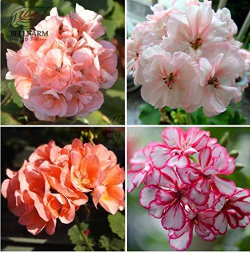 HATCHMATIC Cinq étoiles de Green Desert Rose Pack Professionnel, 2 graines