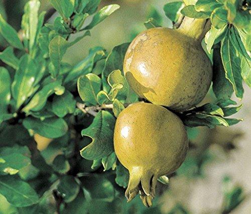 Pianta vera da frutto ALBERO DI MELOGRANO SPAGNOLO A RADICE NUDA - 1 METRO