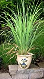 Natures Buggy Lemon Grass Live Plant