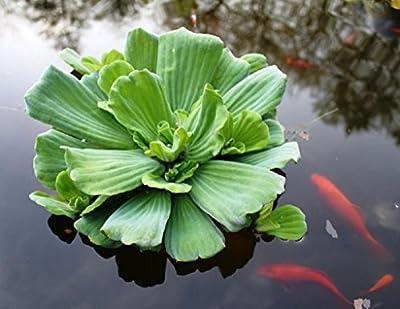 Wasserpflanzen Wolff - Pistia stratiotes - Wassersalat - Muschelblume von Wasserpflanzen Wolff auf Du und dein Garten