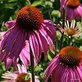 Sonnenhut Echinacea purpurea 'Mistral' von VDG-Stauden bei Du und dein Garten