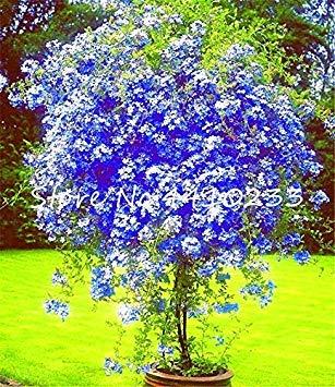 100 Stück Plumbago Auriculata Bonsai Exotische Stauden Blumen Bonsai-Hausgarten-Dekor Pflanze Ceratostigma plumbaginoides Bonsai: Mix