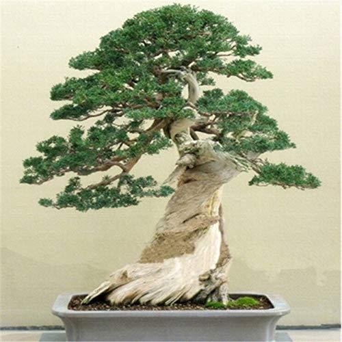 GEOPONICS SEEDS: Juniper Bonsai-Baum Eingemachtes Blumen Aus Bonsai reinigt die Luft absorbieren Schädlich es 20pcs: Sie Lied -