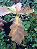 Portal Cool Ungarische Saplings 1 Jahr alt/Quercus / / Garten-Baum/Bonsai