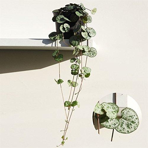 Leuchterblume, hängend, (Ceropegia woodii ssp. woodii), sehr pflegeleichte, hängende Zimmerpflanze (im 8cm Topf) (Hängende Zimmerpflanzen)