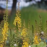 Ligularia przewalskii 'The Rocket' - Kreuzkraut, Przewalski-Kerzen-Goldkolben, im 1,0 Liter Topf, gelb blühend