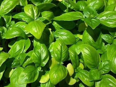Genovese basilic frais 150 Graines Culinary herbes Jardin des plantes Grande Pour Pesto