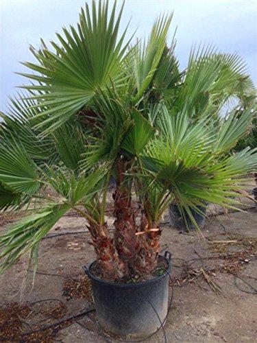 Washingtonia robusta Zimmerpalme Gartenpalme mit 2-3 Stämmen Stämmen ca.100-120 cm. Eine der schnellwachsendsten Palmen der Welt