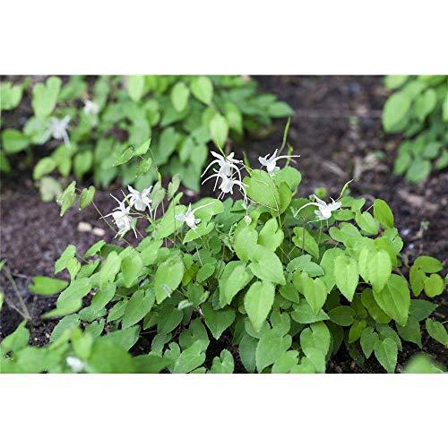 Zierliche Garten-Elfenblume 'Niveum', Epimedium x youngianum 'Niveum', P 0,5