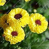 IDEA HIGH Seeds-ZLKING 100pcs Chinesischer Regenbogen Aster Bonsai Seltene Mehrjährige Mehrjährige Einfach Wachsen Callistephus Herrliche Chrysantheme Blumen: 6