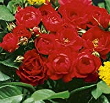 'Limesglut' -R-, Rosen-Hochstamm im Container, ADR-Rose