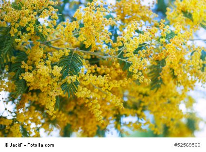 Acacia farnesiana Süsse Akazie Huisache 10 Samen Bonsai geeignet