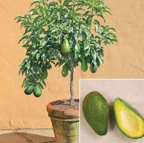 geoponics semi: avocado semi gre frutto molto delicious persea un seme pera facile da coltivare semi di frutta per la casa gard 10 pezzi: mix