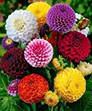 #10: Creative Farmer Dahlia Bambino Dwarf Garden Hanging Pot Flower Seeds