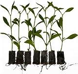 10 x Stevia Pflanzen Süßkraut Stevia rebaudiana Honigkraut Spitzensorte