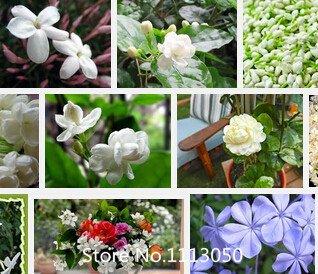 grande-vendita-paeonia-lactiflo-10seeds-pack-rare-completa-sementi-petali-rossi-del-fiore-fragrante-