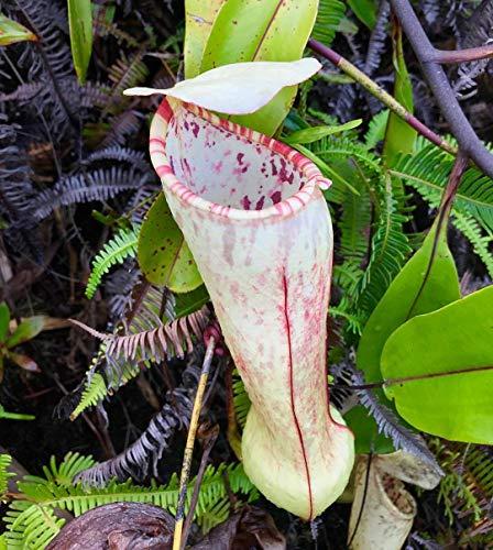 ScoutSeed KAUFEN 3 ERHALTEN 2 FREI Nepenthes Bonsai 50 Teile/los Pflanzen Samen Bonsai Fleischfressende
