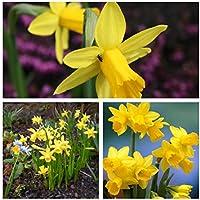 Humphreys Garden® Narcissus Tete a Tete x 50 Bulbs Size 8/10