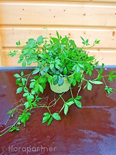 Jiaogulan Pflanze, Gynostemma pentaphyllum, Kraut der Unsterblichkeit, kultiviert aus Stecklingen 1stk. - Tee Pflanze