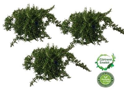 Rosmarin hängend im 12 cm Topf - Rosmarinus officinalis, Rosmarin, Marktfrisch,Rosmarinus officinal von Weselerkräuterparadies - Du und dein Garten