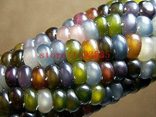Maissamen Authentische Glas Gem Indian Corn Seeds! Erbstück, Regenbogen, Non-GMO Gemüsesamen für zu Hause Garten Bepflanzung