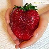 100 Samen Japanische Riesen Erdbeeren