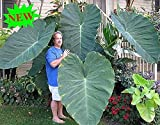 Portal Cool Elephant Giant Taro Semi Alocasia macrorrhiza dell'orecchio Piante Heirloom Verde Dishlia