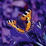 Artland Qualitätsbilder I Poster Kunstdruck Bilder 30 x 30 cm Tiere Insekten Schmetterling Foto Orange C6UP Fuchs Falter in der Nacht