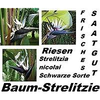 4x Gigante Strelitzia Strelicia Strelizia Albero nicolai Pianta Seme Uccello del paradiso Camera (Rose Garden Di Bambù)