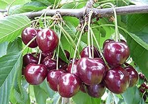 Süßkirsche Regina, Busch wurzelnackt, 60 cm Stammhöhe, inkl. Pflanzschnitt
