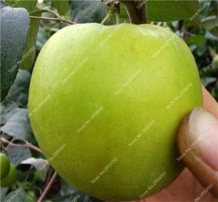 20pcs / sac exotiques japonais Jujube Graines Succulent non-OGM Bonsai Fruit d'ornement Arbre en pot plante facile à cultiver 6