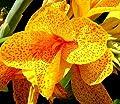Canna, Blumenrohr En Avant - Blumenzwiebel / Knolle / Wurzel von GardenSeedsMarket bei Du und dein Garten