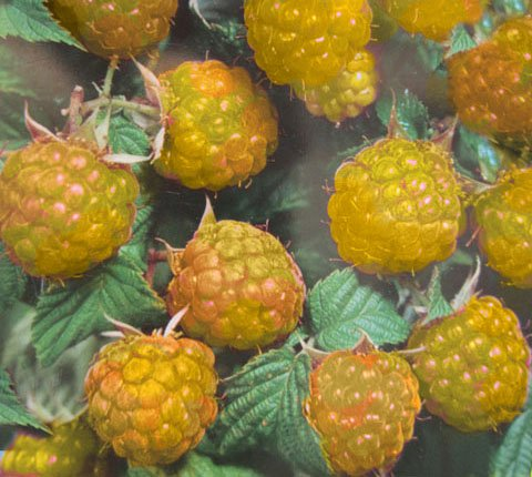 Himbeere 'Golden Queen' - (Rubus id. 'Golden Queen')- Containerware 40-60 cm