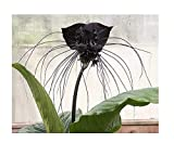 6 Tacca chantrieri nero tigre pipistrello semi di fiori Devil #250