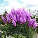 AGROBITS 100pcs New Rare Beeindruckend Lila Pampas-Gras Bonsais Zierhausgarten Pflanzen Blumen Bonsais Cortaderia Selloana: Mix