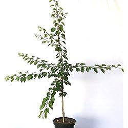 Müllers Grüner Garten Shop Goldrich Aprikosenbaum großfrüchtige Aprikose Buschbaum 150-170 cm 10 Liter Topf St. Julien A