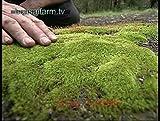 200pcs semi muschio, semi Sagina subulata, bonsai muschio semi di erba decorativi, pianta in vaso per il giardino di casa fai da te