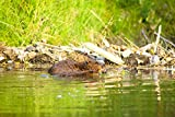Michael Jones / Design Pics – A Beaver And Baby Feed Near Their Dam In Jack Creek...