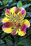 100pcs / bag semi Alstroemeria peruviano Lily Alstroemeria Inca Bandit - Principessa giglio bonsai semi di fiori planta per giardino di casa 6