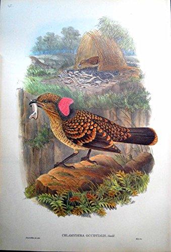 Gould Vogel-prints (Drucken Sie Großes Gekräuseltes MannesNest Bower-Vogel-Johns Gould Chlamydodera Occipitalis)