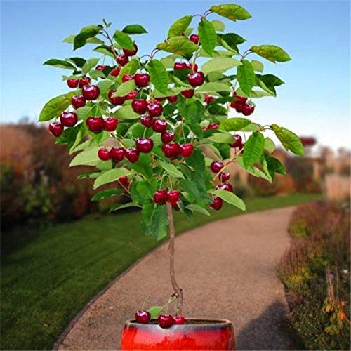 semillas de frutas 30pcs semillas de árboles de cerezo Semillas de Bonsái, Jardín Inicio Planta de tiesto jardín de DIY decoración AA