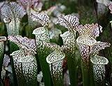 Weiße Schlauchpflanze 5 Samen (Sarracenia Leucophylla)Pitcher White