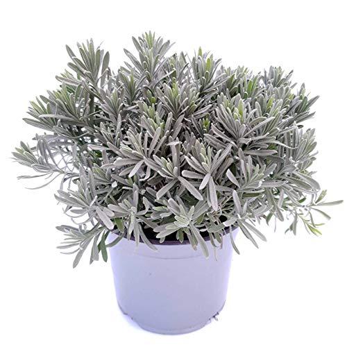 XXL Lavendel-Topf | große Lavendel-Pflanze (Topf 14 cm ?) | italienischer Lavendel | XXL Pflanze | blühender Lavendel im Topf (Lavendel-pflanzen-topf)