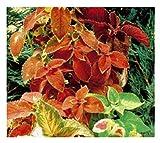 350x Buntnessel Rainbow mix (Coleus)-Harfenstrauch Samen Blumen Garten K47