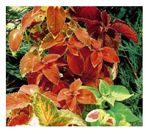 30x Buntnessel Rainbow mix (Coleus) - Harfenstrauch Samen Blumen Garten KS47