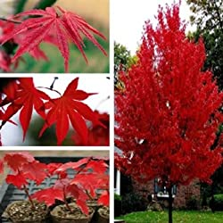 Souked Altas Semillas 5PCS American Quality Red Maple Tree