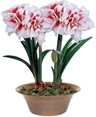 ROSE Gardens 1-Piece Amaryllis Elvas Rare Double Coloured Hippeastrum Lily Bulb