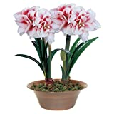 #6: ROSE Gardens 1-Piece Amaryllis Elvas Rare Double Coloured Hippeastrum Lily Bulb