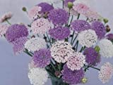 SeeKay Didiscus (Trachymene) Lacy Mix - Appx 100 seed